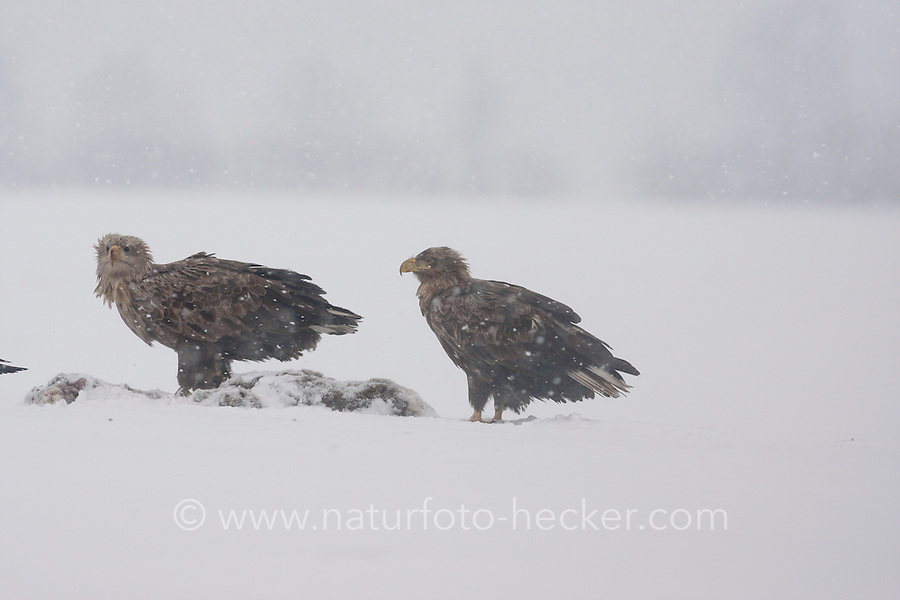 Seeadler, See-Adler, im Winter bei Schnee am Luder, Adler, Haliaeetus albicilla, White-tailed Eagle, Pygargue à queue blanche