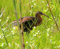 King rail in fresh-water marsh