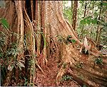 Tree in the rainforest of Tambopata Nature Reserve, Peru, South America