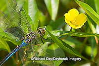 06361-005.04 Common Green Darner (Anax junius) male on Water Primrose (Ludwigia peploides) in wetland Effingham Co. IL