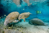 Florida manatee, Trichechus manatus latirostris, a subspecies of West Indian manatee, mother and calf, Three Sisters Springs, Crystal River National Wildlife Refuge, Kings Bay, Crystal River, Florida, USA, MR
