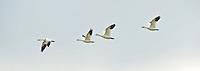 Snow Geese Flying, Western Washington