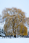 Weeping willow (Salix sp.) Methow Valley, Washington, USA<br /> <br /> Sony ILCE-9, FE 100-400mm F4.5-5.6 GM OSS lens, f/18 for 1/160 second, ISO 800