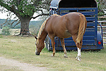 Beautiful horse grazing by its trailer at Bella Vista Ranch in Wimberly TX.