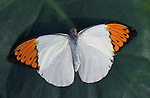 Giant Orange Tip Butterfly, Hebomoia glaucippe, wings open, Thailand, South Asia.Thailand....