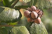 Gewöhnliche Hasel, Haselnuß, Haselnuss, Früchte, Nuß, Nuss, Nüsse am Busch, Corylus avellana, Cob, Hazel, Coudrier, Noisetier commun
