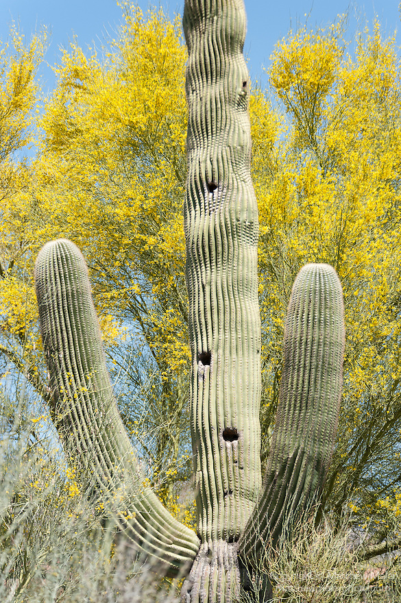 Tucson, Arizona; a large Saguary cactus with woodpecker holes and a wavey pattern against a yellow flowering Palo Verde tree