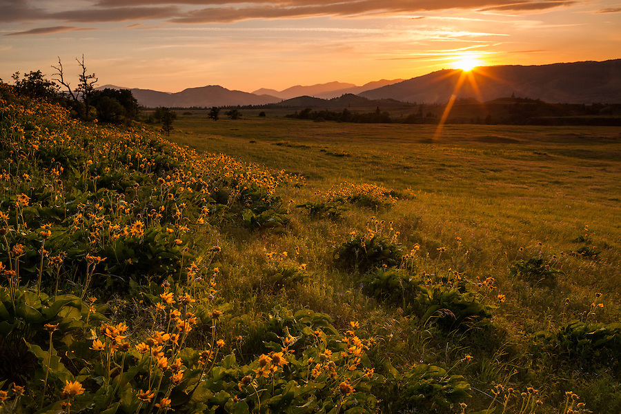 The sun descends behind the hills, casting its warm light among a grassy hillside covered in balsamroot flowers along the Columbia River Gorge in Oregon.