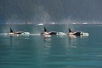 Killer Whales, Stephens Passage, Tongass National Forest, Alaska, USA