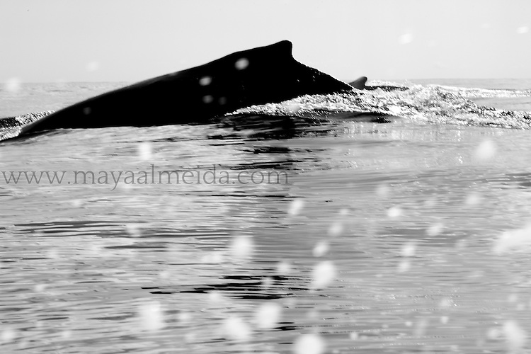 This shot is of the dorsal fin of a male Humpback Whale (known as Megaptera novaeangliae) taken in Silver bank Sancutuary in the Atlantic Ocean of the Dominican Republic. This are is in a reserve that sits about halfway between Turks and Caicos & the Dominican Republic.Humpback whales come here to mate and give birth annually. This shot was taken on a morning where we had been waiting to spot a mom & calf pair that would allow us to get close in water.  This did not happen but instead, we were lucky enough to meet a group of competitive males called a ´Rowdy Group´. There were about four of them and the fights were fierce. At times when they disappeared under the zodiac it felt like we would tip overinstead, I decided to shoot from the water level and have many shots I love but this one is hugely imperfect because of the salt splash on my zoom lens! Not intentional but the image ends up blurred and the effect of the splash is poetic.