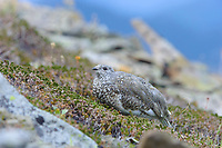 Juvenile White-tailed Ptarmigan (White-tailed Ptarmigan) foraging in alpine vegetation. Central Cascades, Washington. September.