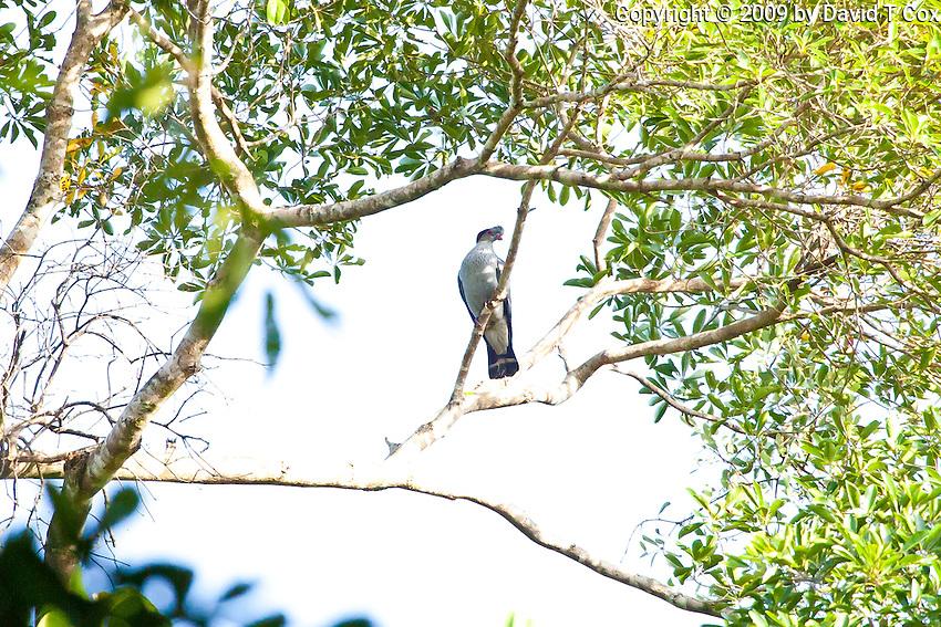 Topknot Pigeon, Daintree NP, Queensland, Australia