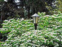 Flowering tree next to street light. Eugene, Oregon.