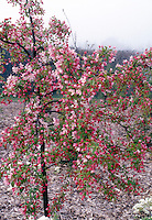 Flowering crabapple in spring bloom with red buds and pink flowers of Malus floribunda . Small growing, dwarf crabapple tree . Crab apple