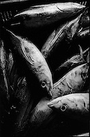 """Europe/France/Aquitaine/64/Pyrénées-Atlantiques/Pays Basque/Saint-Jean-de-Luz:  le Thonier Canneur """"Aïrosa"""" rentre   de nuit au port de la pêche au thon à la canne-déchargement des thons"""