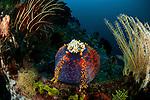 Sea apple (Pseudocolochirus violaceus) a sea cucumber.