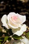 MOONSTONE ROSE, ROSA HYBRID TEA