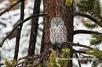 01128-00117 Great Gray Owl (Strix nebulosa) Yellowstone National Park, WY