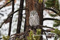 01128-00117 Great Gray Owl (Strix nebulosa) Yellowstone National Park, WY