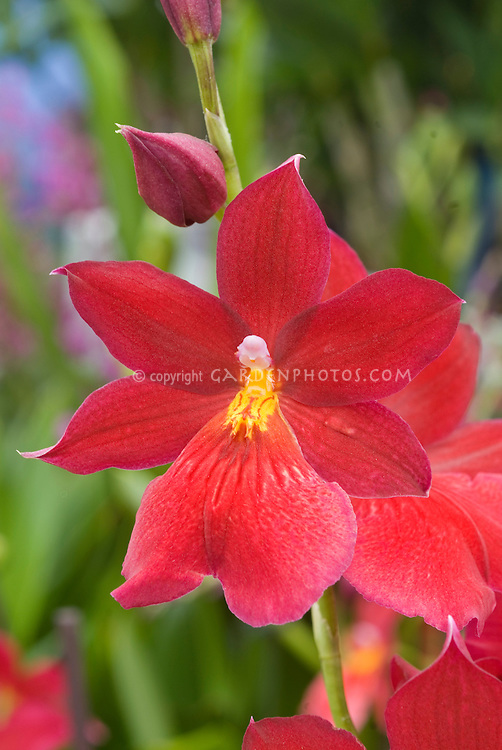 Burrageara Nelly Isler orchid hybrid single one flower
