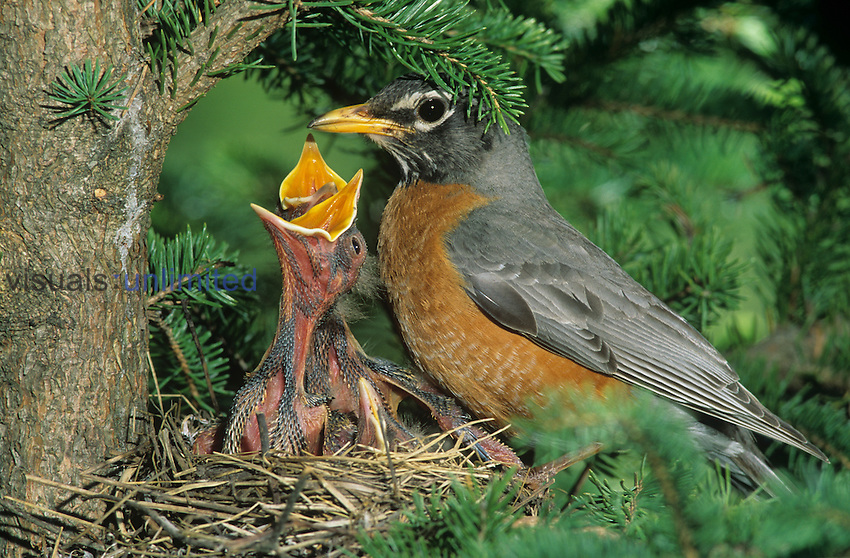 Robin (Turdus migratorius) at nest with hungry, begging young....