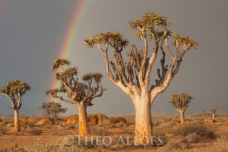 Namibia, Namib Desert, quiver trees (Aloe dichotoma) under dark sky with rainbow