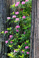 Rhododendrons in the Del Norte Coast Redwoods State Park, Redwood National and State Parks, California