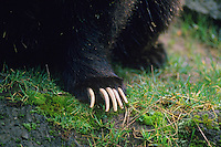 Grizzly bear claws (Ursus arctos)