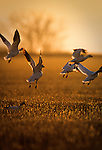 Snow Geese landing in a wheat field at sunset in Montana
