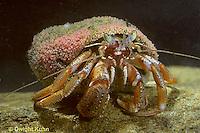 1Y30-002z  Acadian Hermit Crab - Pagurus acadianus