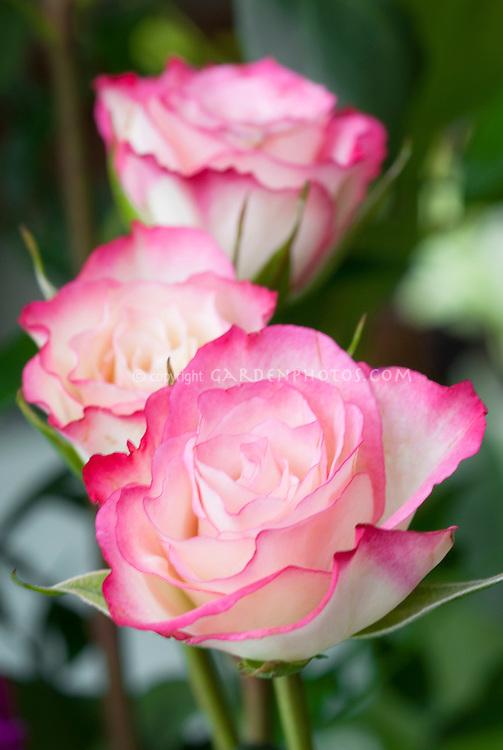 Rosa 'Kordes Perfecta' rose pink picotee