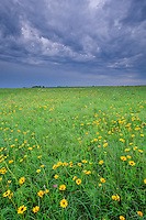 Wildflowers bloom at Kalsow Prairie State Preserve, a tallgrass prairie remnant north of Manson, Iowa, AGPix_0501...