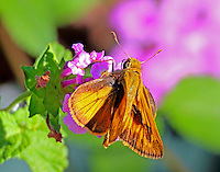 Fiery skipper female