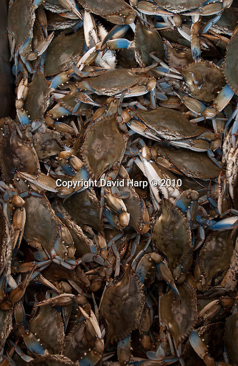 Bill James trotlines for crabs near Cambridge, MD on the Choptank River