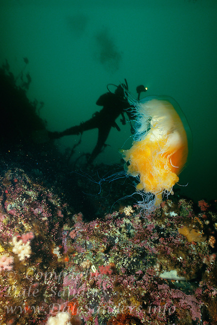 Scuba Diver and Lion's Mane Jellyfish ( Cyanea capillata),  British Columbia, Canada.