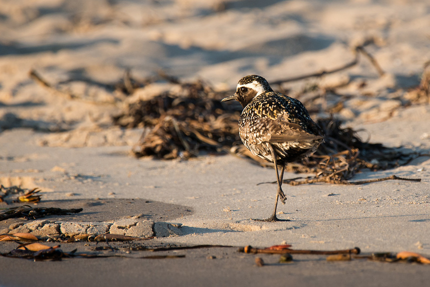 Pacific Golden Plover, Ballina, New South Wales.