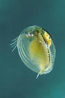 Linsenkrebs, Limnadia lenticularis, Eastern Clam Shrimp, Conchostraca, Muschelschaler, Urzeitkrebs, Flossenfloh, clam shrimps