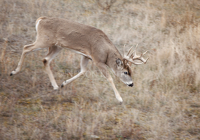 Rutting whitetail buck on the trail of a doe in western Montana