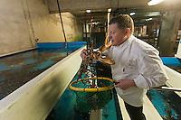 Europe/France/Bretagne/29/Finistère/Roscoff: Loïc le Bail, chef du restaurant Le Yachtman à l'Hôtel Brittany, choisit ses homards  aux Viviers Gaby Béganton [Non destiné à un usage publicitaire - Not intended for an advertising use]