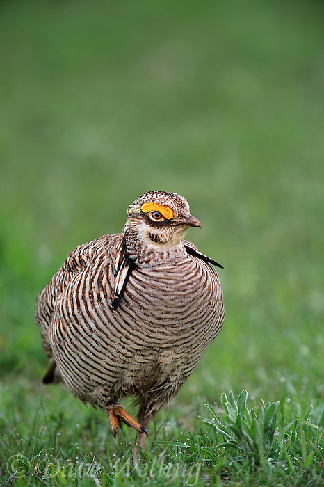572110272 a wild lesser prairie chicken tympanuchus pallidicintus displays and struts on a lek on a remote ranch near canadian in the texas panhandle