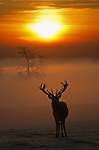Red deer(cervus elaphus) stag at sunrise with mist in the valley. Bedfordshire,UK