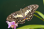The Lime Butterfly (Papilio Demoleus Malayanus)