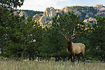 Bull elk (Cervus elaphus) stands on the Knoll Willows Open Space with Lumpy Ridge on the horizon in Estes Park, Colorado, Rocky Mountains, on a September evening.