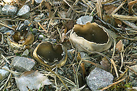Helvella leucomelaena