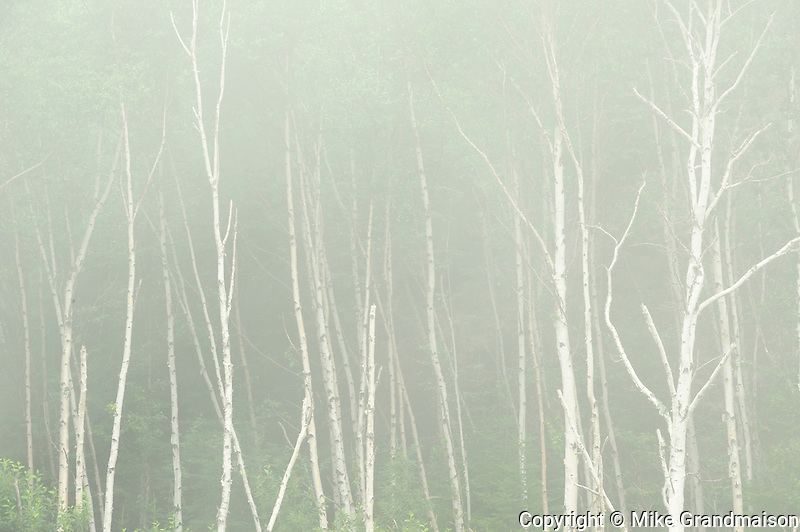 White birch trees (Betula papyrifera) in fog<br /> Rossport<br /> Ontario<br /> Canada
