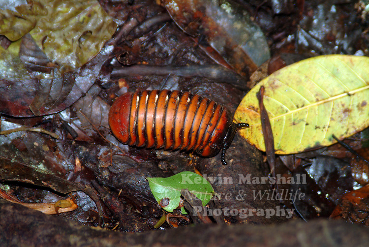 "Pill millipedes make up two orders of millipedes, often grouped together into a single superorder, Oniscomorpha. The name Oniscomorpha refers to the resemblance of pill millipedes to certain woodlice, namely the pillbugs of the family Armadillidiidae, also called ""potato bugs"", ""doodlebugs"", or ""roly-polies"". However, they are only distantly related."