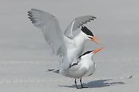 Royal Terns (Sterna maxima) mating