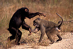 Chimpanzee and Baboon Play Session