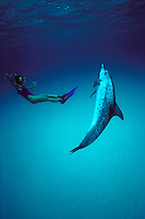 Atlantic spotted dolphin, Stenella attenuata, are found in the tropical Atlantic . Grand Bahama Bank, Bahamas