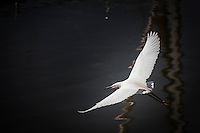 A Snowy egret, identified in part by its yellow feet, flies over the water at the San Leandro Marina.  A sweet taste of elegance, white-winged and airborne.  Elegance in golden slippers.